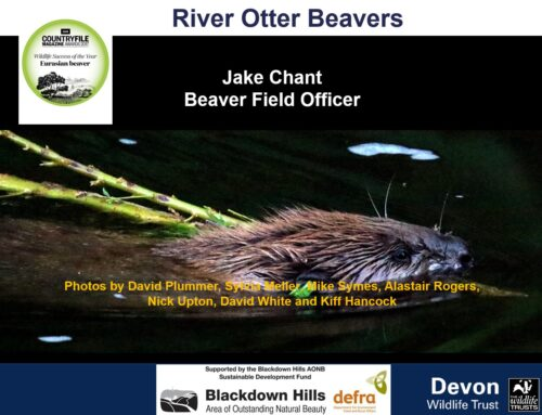 Beavers for the Culm – the latest intelligence