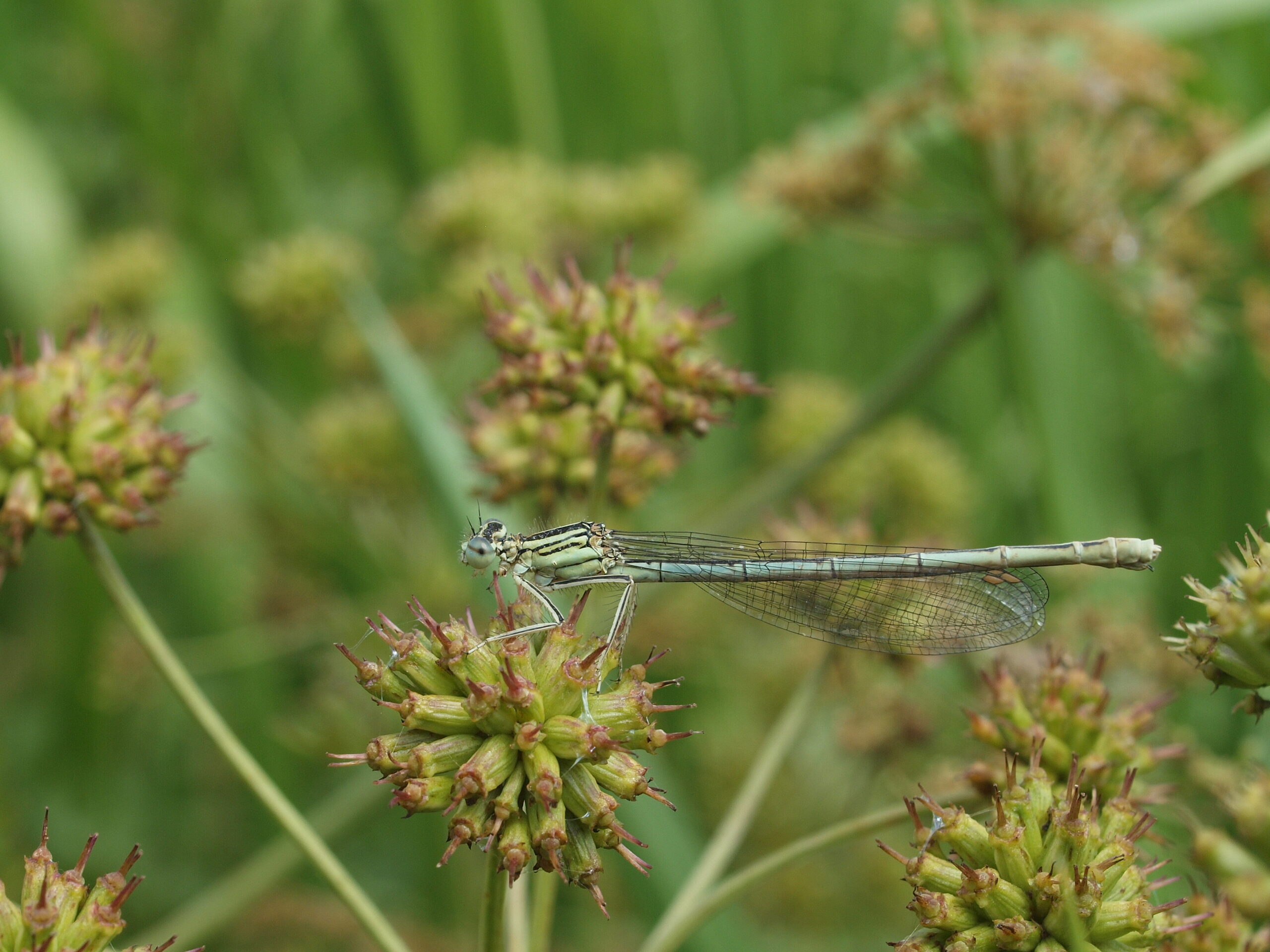 White-legged-damselfly