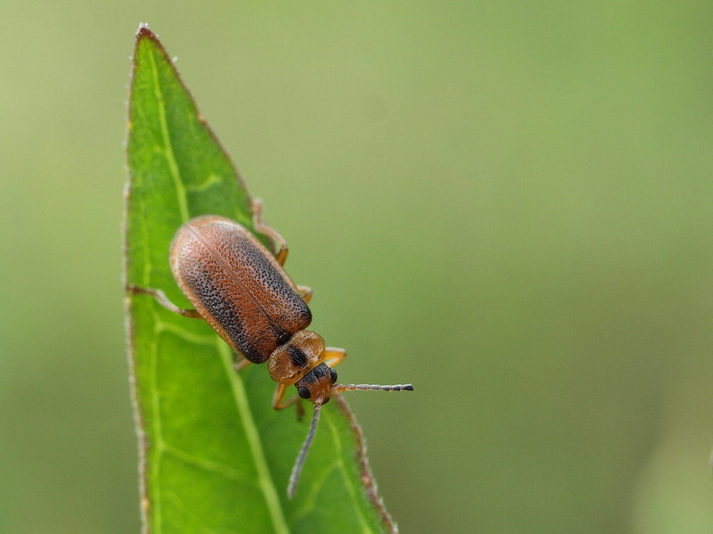 the black-margined loosestrife beetle