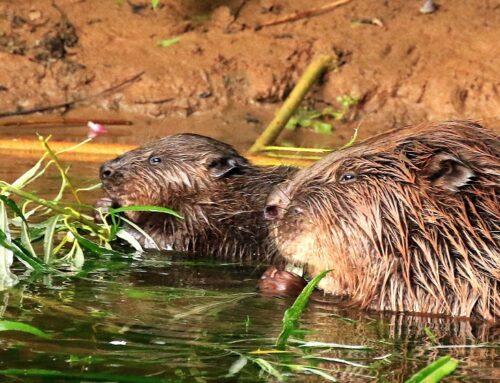 Beaver reintroduction – consultation